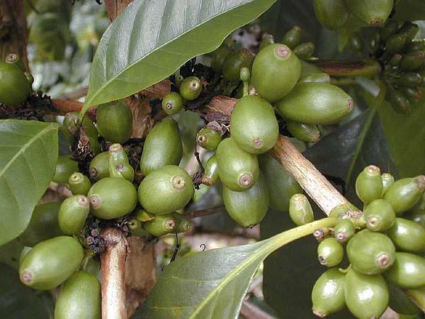 cafeaua Maragogype