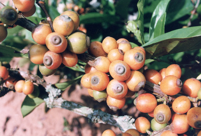 Cafeaua Liberica