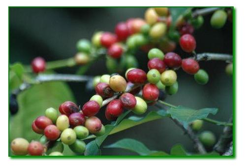 cafeaua robusta